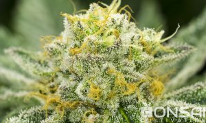 Mandarin Dream #9 cannabis flower from Bonsai Cultivation