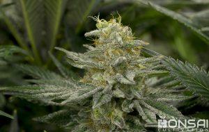 Pillow Factory #5 cannabis flower from Bonsai Cultivation