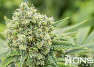 CannalopeHaze_180403_2_low