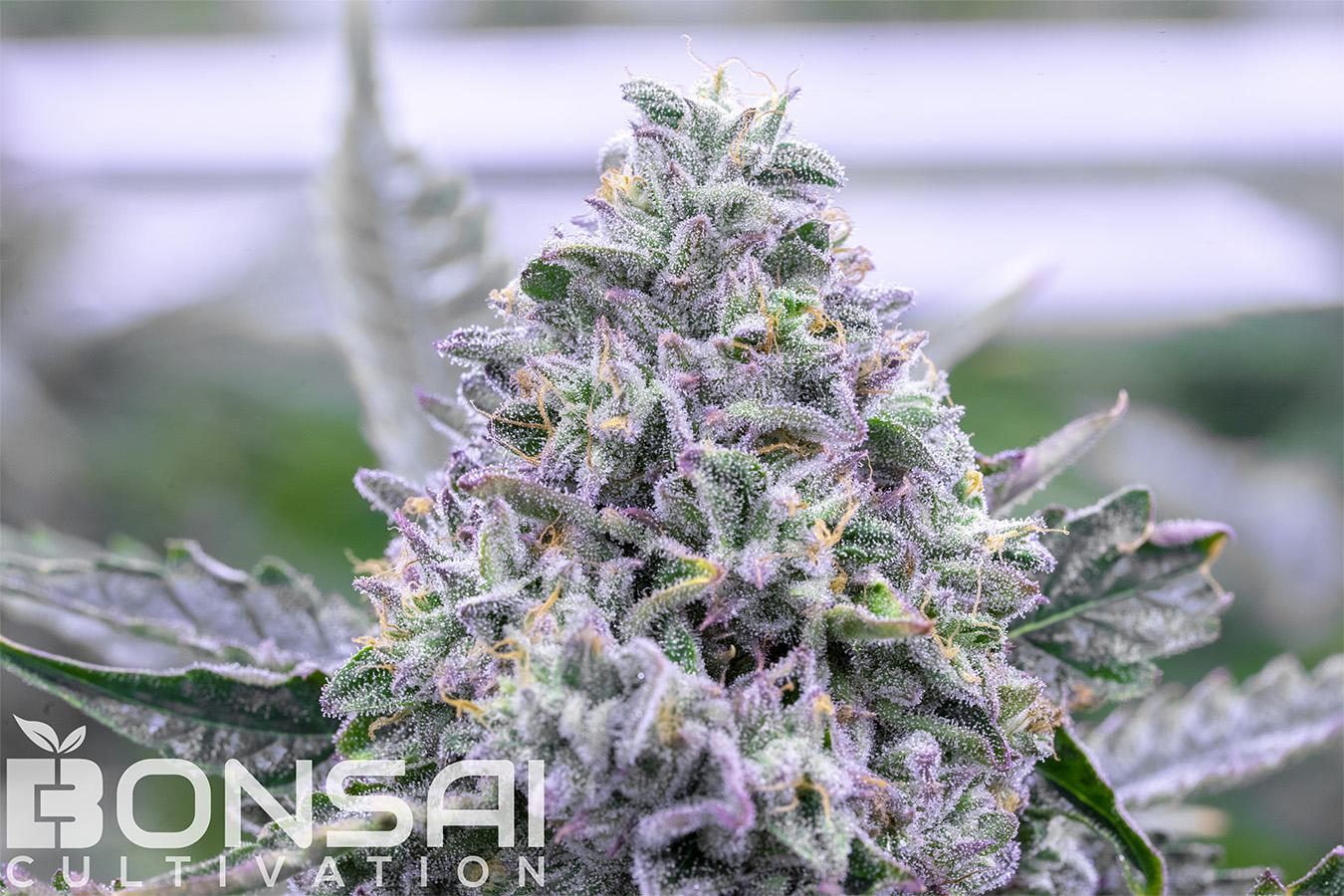 Bonsai Cultivation | Cannabis Strains | Gelato Cake